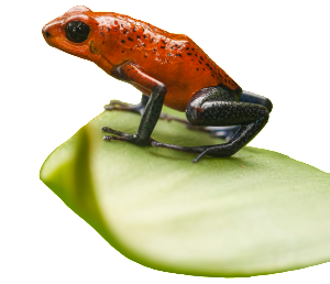 Strawberry-Dart-Frog
